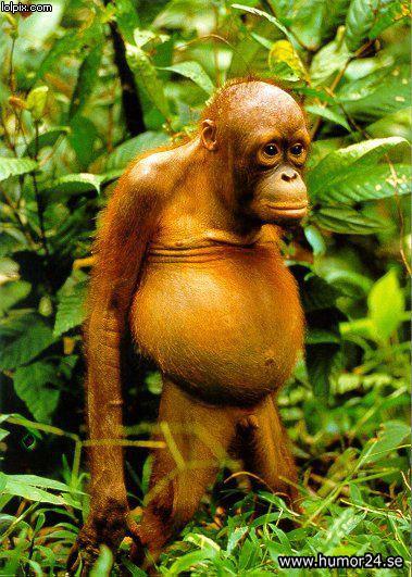 Humor24.se - Rolig och ful apa Fat Monkey Wallpaper